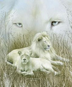Spirit Of The White Lions Art Poster is from the 'Spirit Of The Wild' series of original art by Carol Cavalaris. The spirit of the white lion is proud and pure. Their message is to live in harmony, with yourself and others. For they are the symbol of goodness in all creatures. Two African lions, a male and female nestled in the Serengeti brush, with blue lion eyes in the background.