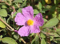 CISTUS 'Violette'