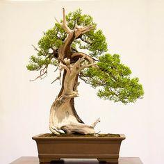 California juniper – 500-600 years