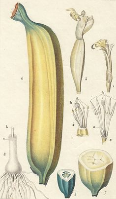 Hand-Colored Banana Etching, 19th-C. | 5-Minute Escape | One Kings Lane