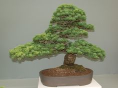 Pine trees can survive the cold weather, that is why they symbolize a character of strong will and forbearance. http://www.visiontimes.com/2016/02/15/the-beautiful-plants-and-flowers-used-during-the-chinese-new-year-holidays.html?photo=2