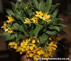 Promenaea xanthina