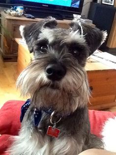 Find Out More On Smart Miniature Schnauzer Dogs Size Schnauzer Grooming, Miniature Schnauzer Puppies, Schnauzer Puppy, Baby Puppies, Dogs And Puppies, Doggies, Miniature Schnauzer Black, Dog Grooming Business, Most Popular Dog Breeds