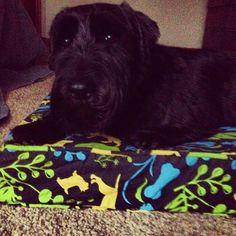 "@kellystee's photo: ""Cutest dog ever.  #mollymutt #schnauzer"""