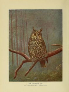 The Long-Eared Owl. Animal life and the world of nature : a magazine of natural history throughout the world, v. 1, 1902-03. London: Hutchinson, 1902-04. BHL