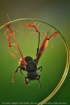 "awkwardsituationist: "" photos by uda dennie of eusocial ants in batam island, indonesia. (more posts on ants and other insects) "" Animal Pictures, Cool Pictures, Cool Photos, Beautiful Pictures, Happy Photos, Random Pictures, Beautiful Bugs, Amazing Nature, Beautiful Creatures"