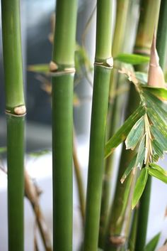 Bamboo=Strong and Flexible