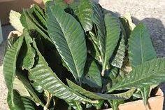 枇杷(びわ)の葉や種、酒の凄い効能はB17が作用