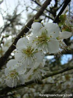 Close-Up of the Plum Blossoms in Xin Yi, Taiwan ----> A Blanket of White…