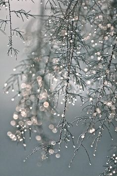Rain Drops-dripping from the branches of the trees