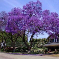 100Pcs Best Paulownia Seeds empress tree Romantic Flower Great Aroma fast growing Hot 2016 Free Shipping