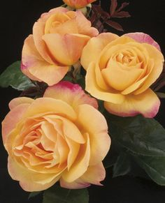 ~Strike it Rich Hybrid Tea Rose - Strike it Rich is a vigrouse and disease resistant rose with a rich garden color that made it a 2007 AARS winner.