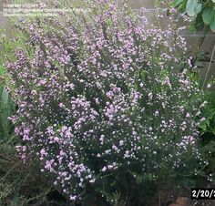 Full size picture of Pink Breath of Heaven, Confetti Bush, Pink Diosma (Coleonema pulchellum)