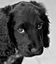 A friends springer cocker spaniel mix, Dave, with those eyes he would try and get away with anything! Cocker Poodle, Yorkie Poodle, Poodle Mix, Show Cocker Spaniel, Springer Spaniel Puppies, Animals And Pets, Baby Animals, Cute Animals, Sorry Cards