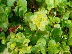 Opposite-leaved Golden Saxifrage: sepals no petals   The Nature of Dorset