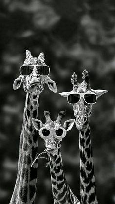 """says the giraffe on the left. ""Oh, look at our shades!"" says the middle giraffe."" says the giraffe on the right. Typical, he was only talking about himself! Tier Wallpaper, Funny Iphone Wallpaper, Iphone Background Wallpaper, Animal Wallpaper, Cartoon Wallpaper, Iphone Pics, Giraffe Art, Cute Giraffe, Black And White Picture Wall"