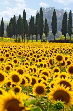 Girassóis e ciprestes na região da Toscana, Itália.
