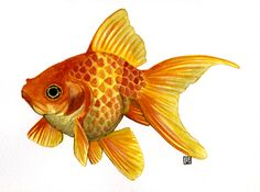 "Art illustration - Lakes ""freshwater fish"" - (Goldfish) is a species of freshwater fish of the family Cyprinidae. It was one of the first fish domesticated by man, and is currently one of the most common aquarium fish. It was first domesticated in China over a thousand years ago. Some of these species are usually gray or silver color and have a tendency to tonarse with a red, orange or yellow."