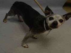 SUPER URGENT Brooklyn Center ADA – A1099103  FEMALE, GRAY / BLACK, CHIHUAHUA LH MIX, 12 yrs OWNER SUR – EVALUATE, NO HOLD Reason MOVE2PRIVA Intake condition EXAM REQ Intake Date 12/08/2016, From NY 11378, DueOut Date 12/08/2016,