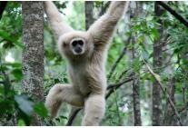 Gibbon at Monkeyland