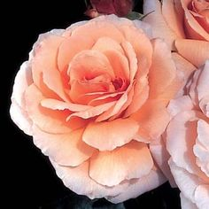 Tamora rose - Soft apricot-yellow. Large, very full flowers and a strong spicy fragrance. Single flowers and clusters of blooms through the summer. Great cut flower.