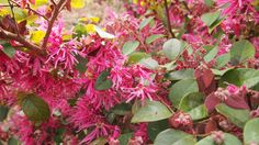 Fringe Flower-Burgundy by The Plant Web | The Plant Web