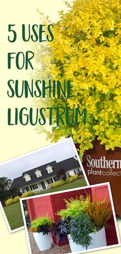 Here are five ways to put 'Sunshine' Ligustrum to work in your landscape. Outdoor Landscaping, Front Yard Landscaping, Outdoor Gardens, Landscaping Ideas, Southern Landscaping, Sun Plants, Garden Plants, Flowers Garden, Sunshine Ligustrum