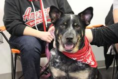 Meet Blue, an adoptable Australian Cattle Dog (Blue Heeler) looking for a forever home. If you're looking for a new pet to adopt or want information on how to get involved with adoptable pets, Petfinder.com is a great resource.