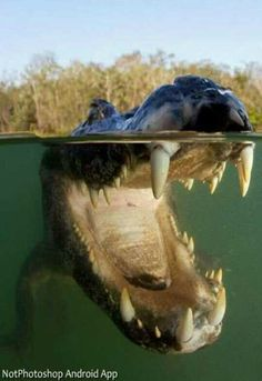 Crocodilo.