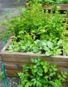 growing parsnips as perennials