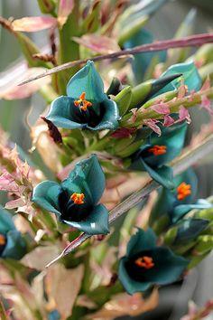 Puya alpestris x mirabilis | Flickr - Photo Sharing!❤️