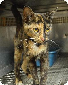 URGENT! EUTH DATE SET! Domestic Medium-hair. Young. Female. This beautiful tortoiseshell kitty is super friendly!  She's at the Tri-County Animal Shelter. Call 606-784-4930 or go there directly to adopt. Due to crowding, cats only have a few days. Fee $25, includes spay/neuter & rabies vaccine.  We're rescue friendly & need help! We have transport assistance to northeastern states. Can meet Pilots N Paws flights in Morehead KY or Huntington WV. Email us for rescue application.