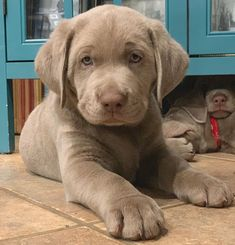 I am A Labrador Owner & In This Page I will Provide labrador retriever puppies labrador retriever facts And labrador retriever training & care Silver Labrador Puppies, Labrador Dogs, Beautiful Dogs, Animals Beautiful, Cute Dogs And Puppies, Corgi Puppies, Doggies, Adorable Puppies, Cute Dog Pictures