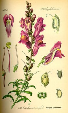 Flora von Deutschland Österreich und der Schweiz (1885) - Antirrhinum majus