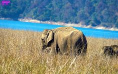 THIS ELEPHANT WAS IN GRASSLANDS OF DHIKALA Wildlife photographer Sanjay S Pawar shared a wonderful image on http://photos.wildfact.com, a website community for wildlife photographers only. To enjoy the image click below link to view in full mode, to join the community, see many other wildlife photographs and follow wildlife photographers. http://photos.wildfact.com/image/789/elephant-corbett  #wildlife #wildlifephotography #photography