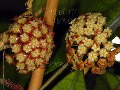 Hoya sp. Sabah AG08-24 & Hoya finlaysonii 'Germanica'