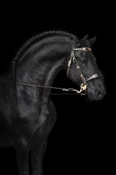 This stunning black beauty will definately make your day! #horses#horse#horselovers#horselove#lovinghorses#beautifulhorsepictures#horseriding#stunninghorses#beautifulhorses#loveforhorses#stallions#polopony#pony#whitehorses#equestrian#marwarihorse#marwari#thoroughbred#ponies#horsepictures#horsephotography#horsebackriding#LAPOLO Polo Horse, Beautiful Horse Pictures, Pebble Beach Concours, Horse Training, Horse Breeds, Horse Photography, Thoroughbred, Horse Art, Equestrian