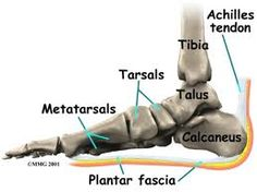 This Picture and description will show you the plantar fascia [plantar fascitis] and the Achilles Tendon which is part of the calf muscle. KTape and cold laser along with chiropractic adjustments to the tarsal and metatarsal bones have helped many patients.