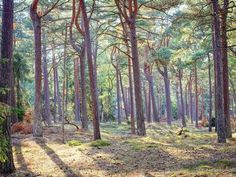 Photo: Pine forest looks like the setting for a fairytale