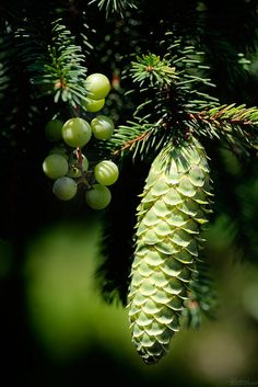 Pine Tree Art, World Birds, Conifer Trees, Nature Plants, Botanical Flowers, Green Garden, My Flower, Pine Cones, Amazing Nature