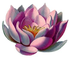 *The Graphics Fairy LLC*: Vintage Graphic - Amazingly Beautiful Pink Water Lily - Lotus Graphics Fairy, Zen Meditation, Water Lily Tattoos, Pink Lotus, Lotus Flower, Photo To Art, Cover Up Tattoos, Water Lilies, Vintage Flowers