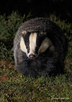 The European badger is a powerfully built black, white and grey animal with a small head, a stocky body and short tail. Weighs up to 15–29 lb in spring but builds up to 33–37 lb in autumn before the winter hibernation. It's a nocturnal, social, burrowing animal.