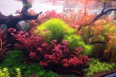 Bilderesultat for dutch aquascape