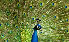 """The Secret World of Peacock Tails: Where Beauty and Functionality Meet - As reported in BBC, peacock tails make a noise that isn't audible to us mere humans. While loud to other peacocks, the noise is low-pitched enough to be infrasound to us. In the peacock world, the sound is """"as loud as a car going past a few metres away,"""" and other birds will react to the noise. In the human world, the same noise sounds like """"rustling grass in the wind."""""""