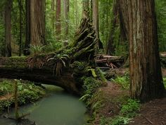 Redwood Forest, Mendocino, California  photo via marie  I've seen the redwoods and they are HUGE. Wish a forest creature was in the photo to give perspective as to the size of this tree. Everyone should see these.