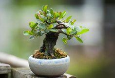 mame bonsai | Mame Goat Willow | Shohin Bonsai Blog