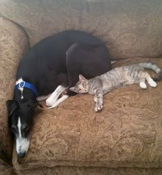 Roman Chrome, adopted from Greyhound Rescue Austin (GRA), and his best bud.