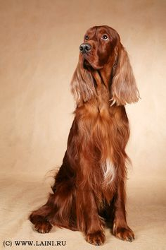 Irish setter #woof  such a beautiful dog.  Artists consider them the most beautiful of breeds.  Think about it they are symetretically perfect.