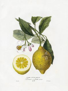 Poiteau, Anton Pierre. Citronier Commun.  From  Pomologie francaise : recueil des plus beaux fruits cultives en France. Vol.II. Paris, 1846. Engraving with original color. Image: 9.25 in. x 12 in. Sheet size: 20.5 in x. 13.5 in.