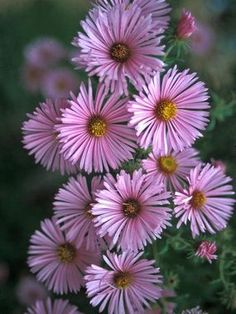 Aster 'Harringtons Pink' - This variety can reach 6 feet, perfect for a large border. Blooms late summer to late fall. Zones 3-8